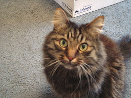 Tabby cat looking into the camera's lens